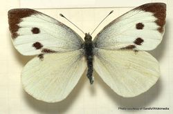 Phil Bendle Collection:White butterfly (Great) Pieris brassicae