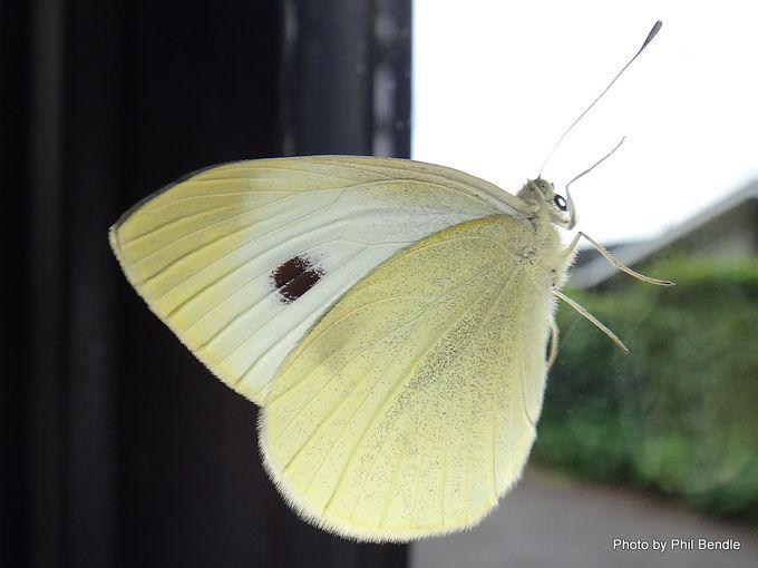 Pieris rapae Cabbage butterfly-001.JPG