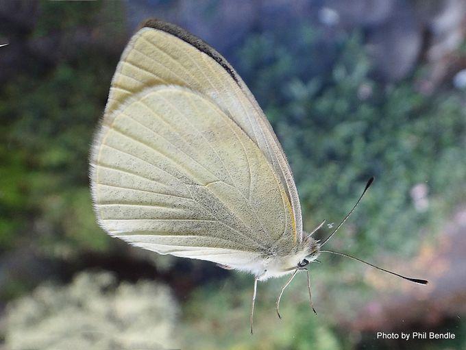 Pieris rapae Cabbage butterfly.JPG
