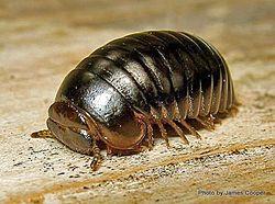 Phil Bendle Collection:Millipede (Genus Procyliosoma) Pill millipede