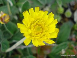 Phil Bendle Collection:Hieracium pilosella (Mouse-ear Hawkweed)