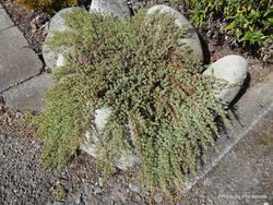 Phil Bendle Collection:Pimelea prostrata (New Zealand Daphne)