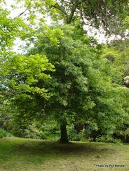 Phil Bendle Collection:Quercus palustris (Pin oak)