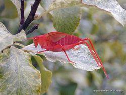 Phil Bendle Collection:Katydid (Pink) Caedicia simplex