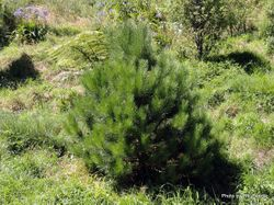 Phil Bendle Collection:Pinus radiata (Radiata Pine) .