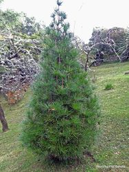 Phil Bendle Collection:Pinus thunbergii (Japanese black pine)
