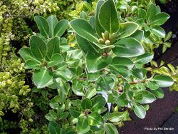 Phil Bendle Collection:Pittosporum (a form) Stephens Island