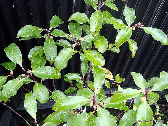 Pittosporum Waihao Waihao Green-001.JPG