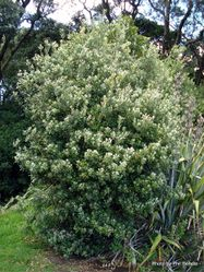 Phil Bendle Collection:Pittosporum crassifolium (Karo)