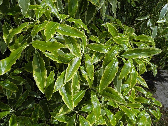 Pittosporum eugenioides Variegatum Minimum -002.JPG