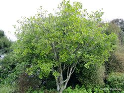 Phil Bendle Collection:Pittosporum fairchildii (Fairchild s kohuhu)