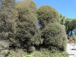 Phil Bendle Collection:Pittosporum obcordatum (Heart leaved Kohuhu)