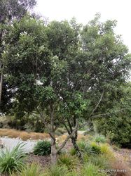 Phil Bendle Collection:Pittosporum ralphii (Ralph s Kohuhu)