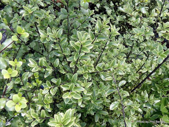 Pittosporum tenuifolium Mountain Jade-001.JPG