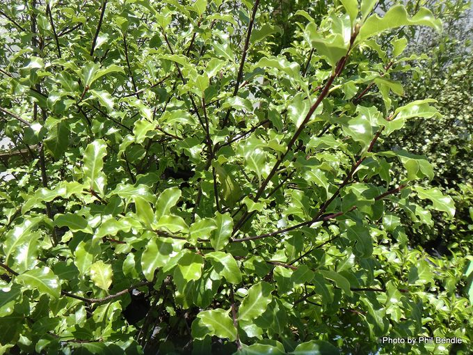 Pittosporum tenuifolium Tasman Ruffles-001.JPG