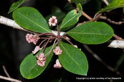 Phil Bendle Collection:Pittosporum umbellatum (haekaro)
