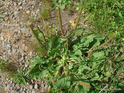 Phil Bendle Collection:Plantago major (Broad leaved Plantain)