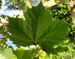 Phil Bendle Collection:Platanus (Genus) Plane trees