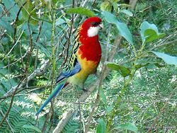 Phil Bendle Collection:Rosella (Eastern) Platycercus eximius