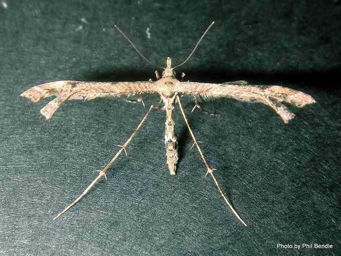 Platyptilia falcatalis Brown Plume Moth Purerehuhu-001.JPG