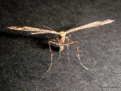 Phil Bendle Collection:Amblyptilia falcatalis (Brown plume moth)