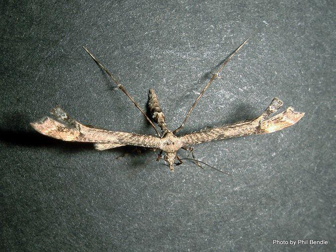 Platyptilia falcatalis Brown Plume Moth Purerehuhu.JPG