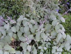 Phil Bendle Collection:Plectranthus argentatus (Silver spurflower)