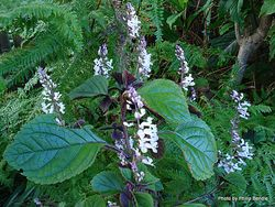 Phil Bendle Collection:Plectranthus ciliatus (Blue spur flower)