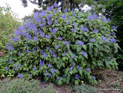 Phil Bendle Collection:Plectranthus mahonii (Srubby plectranthus)
