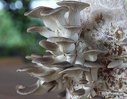 Phil Bendle Collection:Pleurotus pulmonarius (Oyster mushroom)