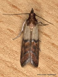 Phil Bendle Collection:Plodia interpunctella (Indian meal moth)