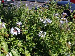 Phil Bendle Collection:Plumbago auriculata (Cape leadwort)