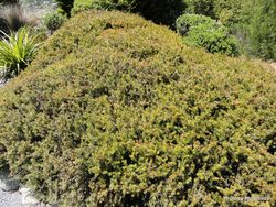 Phil Bendle Collection:Podocarpus acutifolius (Needle-leaved totara)