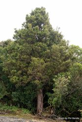 Phil Bendle Collection:Podocarpus cunninghamii (Mountain totara)
