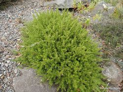 Phil Bendle Collection:Podocarpus nivalis (Snow totara)