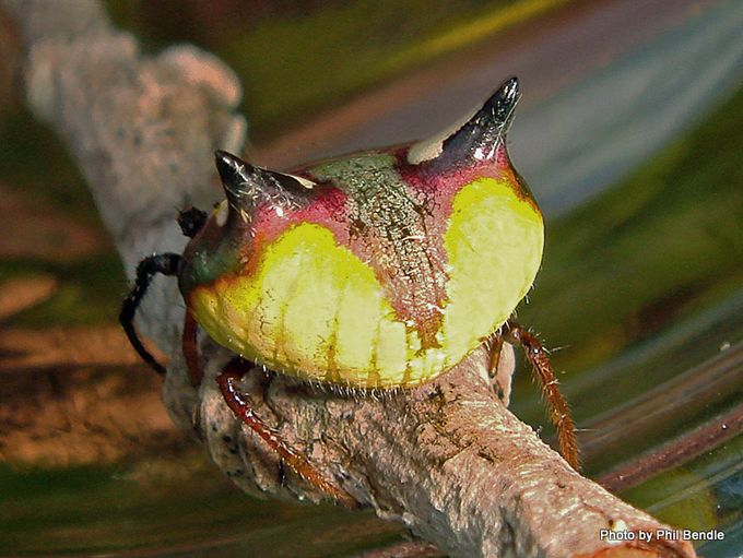 Poecilopachys Australasia Two Spined spider-001.JPG