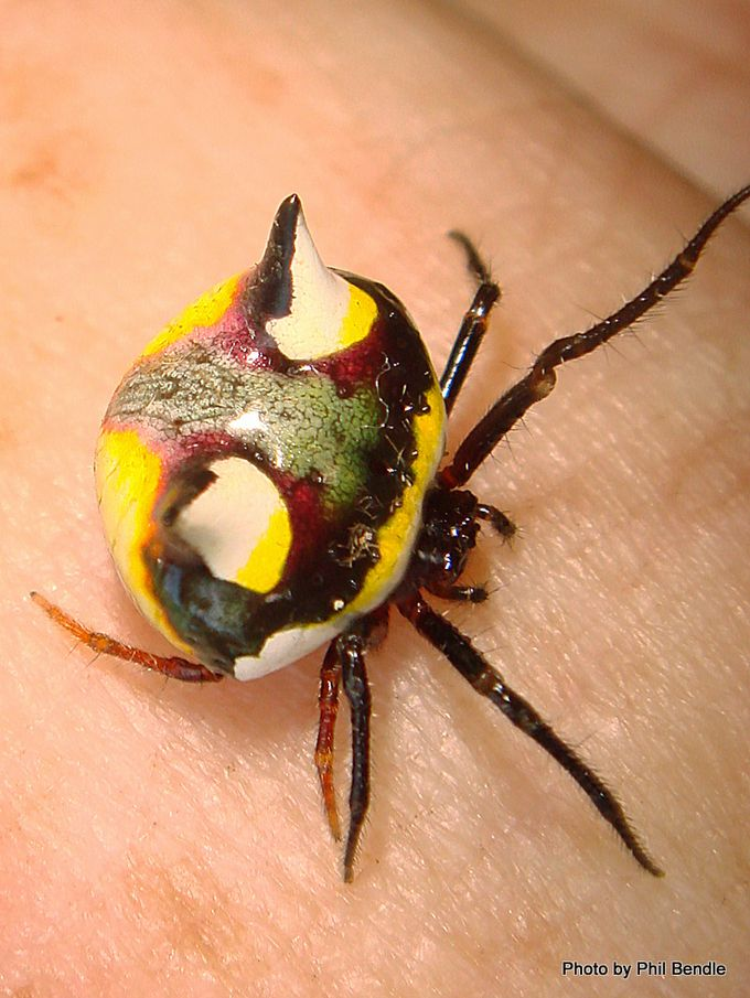 Poecilopachys Australasia Two Spined spider-002.JPG
