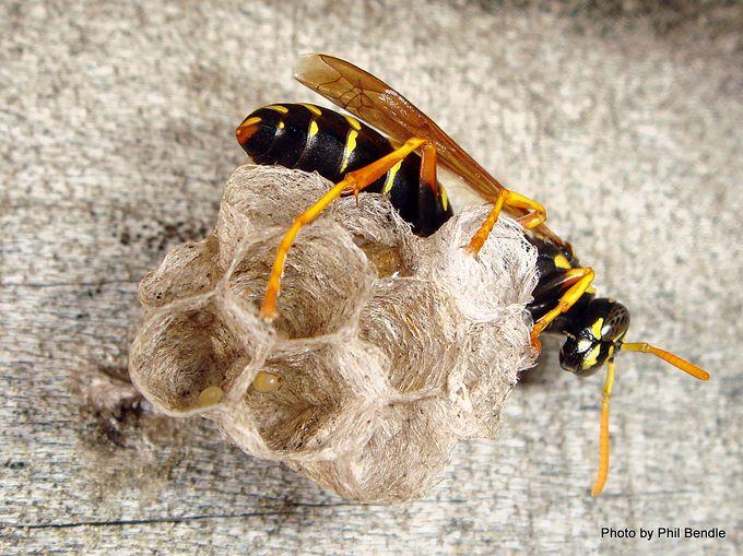 Polistes chinensis Asian Paper wasp-012.JPG