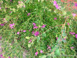 Phil Bendle Collection:Polygala dalmaisiana (Sweet Pea Shrub)