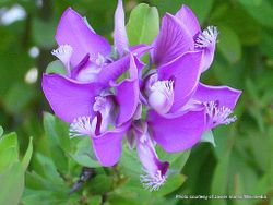 Phil Bendle Collection:Polygala myrtifolia (Sweet pea shrub)