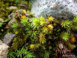 Phil Bendle Collection:Polytrichum juniperinum (Juniper haircap moss)