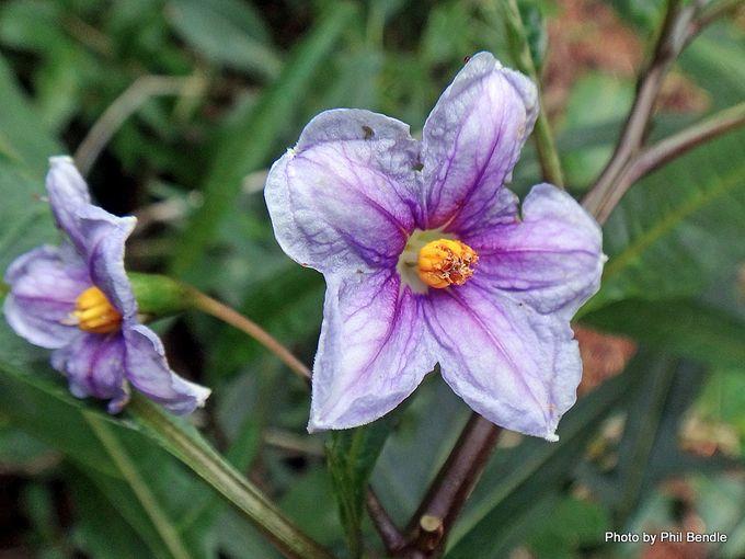 Poroporo Solanum aviculare -001.JPG
