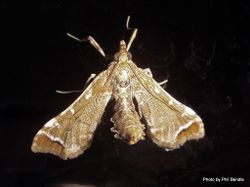 Phil Bendle Collection:Leucinodes cordalis (Poroporo fruit borer moth)