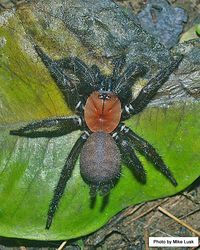 Phil Bendle Collection:Tunnelweb spider (Black) Porrhothele antipodiana