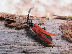 Phil Bendle Collection:Beetle (Red winged Lycid) Porrostoma rufipenne