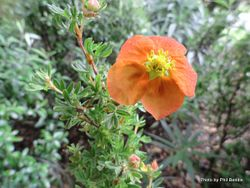 Phil Bendle Collection:Dasiphora fruticose 'Tangerine (Potentilla'Tangerine)