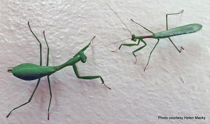 Praying mantis African Miomantis caffra.jpg