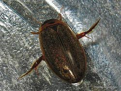 Phil Bendle Collection:Beetle (Predatory diving beetle) Rhantus suturalis)