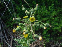 Phil Bendle Collection:Sonchus asper (Prickly Sow Thistle)