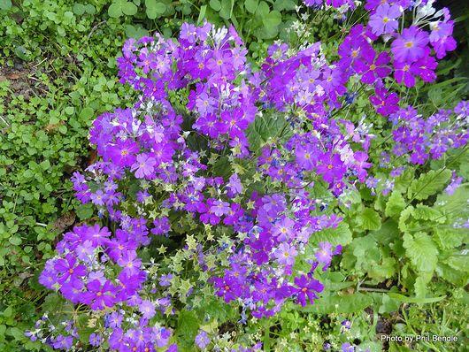 Primula species 1 .JPG